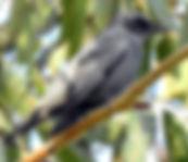 cicadabird small.jpg