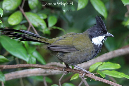 Eastern Whipbird_resized.jpg