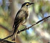 Yellow-faced Honeyeater small.jpg