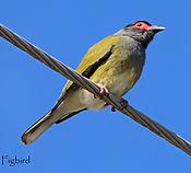 Australasian Figbird_small.jpg