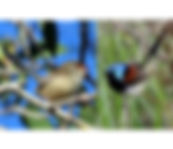 Varigated Fairywren small.jpg