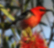 scarlet honeyeater_small.jpg