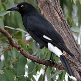 Pied Currawong_small.jpg