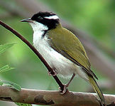 White-throated Honeyeater_small.jpg