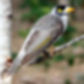 Noisy Miner small.jpg