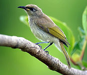Brown Honeyeater small.jpg