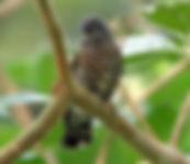 Shining Bronze Cuckoo.jpg