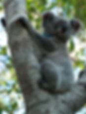 Koala Lizzy