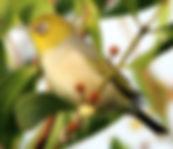 Silvereye small.jpg