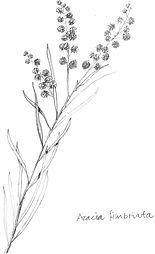 Acacia Fibriata 2 EK.jpg