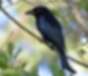 Spangled Drongo small.jpg