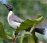Noisy Friarbird_small.jpg