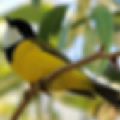 Golden Whistler_small.jpg