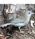 Grey Shrikethrush_small.jpg