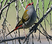 Red-browed Finch small.jpg