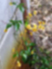 Pandorea pandorana s.jpg