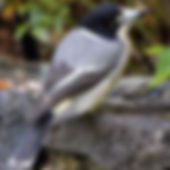 Grey Butcherbird_small.jpg
