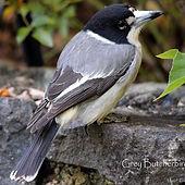 Grey Butcherbird_small.jpg