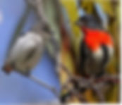 Mistletoebird small.jpg