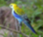 pale-headed Rosella small.jpg