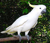 Sulphur-crested White Cockatoo.jpg
