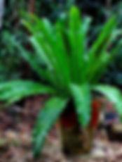 Asplenium australasicum.jpg