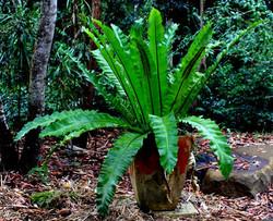 Asplenium australasicum