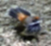 Rufous Fantail_small.jpg