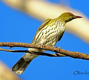 Olive-backed Oriole_small.jpg