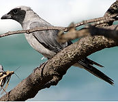 Black Faced Cuckoo Shrike small.jpg