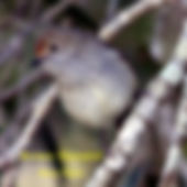 Brown Thornbill small.jpg