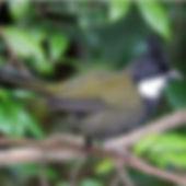 Eastern Whipbird small.jpg