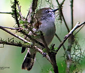 Brown Gerygone small.jpg