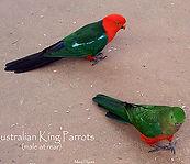 King Parrots small.jpg