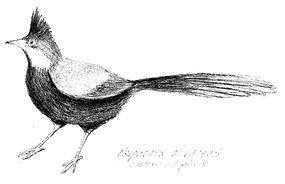 Whipbird Sketch.jpg