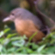 Little Shrikethrush_small.jpg