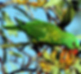 Scaly-breasted Lorikeet_small.jpg