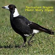 Australian Magpie small.jpg