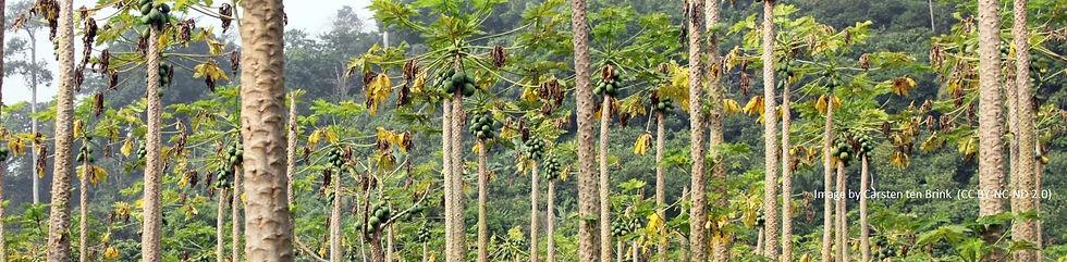 Cameroon%20papaya%20trees_edited.jpg