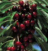bunches of cherries ready to pick