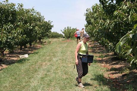 picking fresh cherries