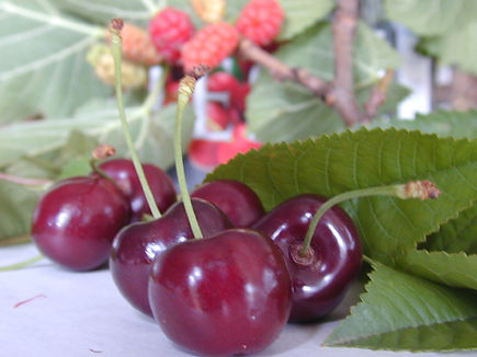 pick your own fresh cherries, u-pick cherries