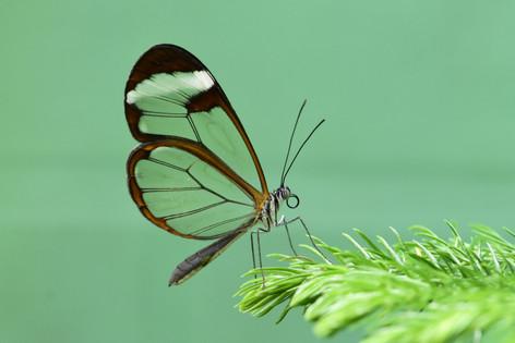 Glasswing green.JPG