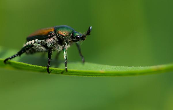 Beetle Luv