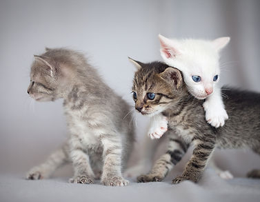 kittens-playing-P4QFUWW.jpg