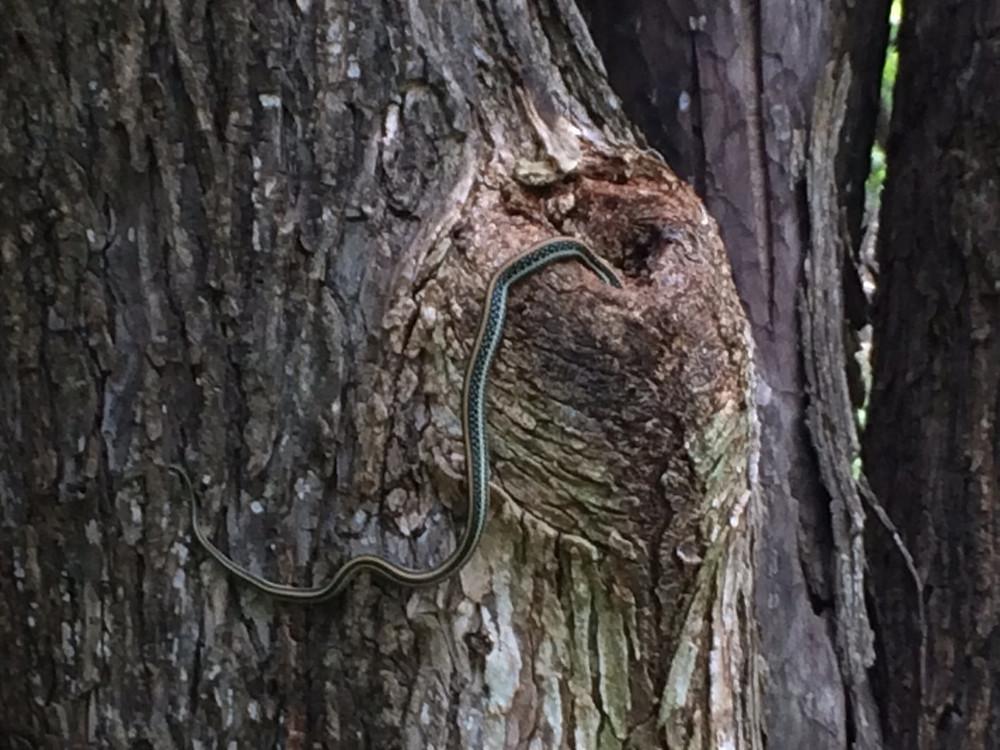 Ribbon Snake At Oxley Nature Center