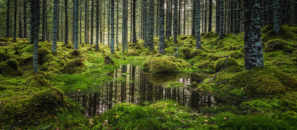 Picture of a Nordic forest covered in moss