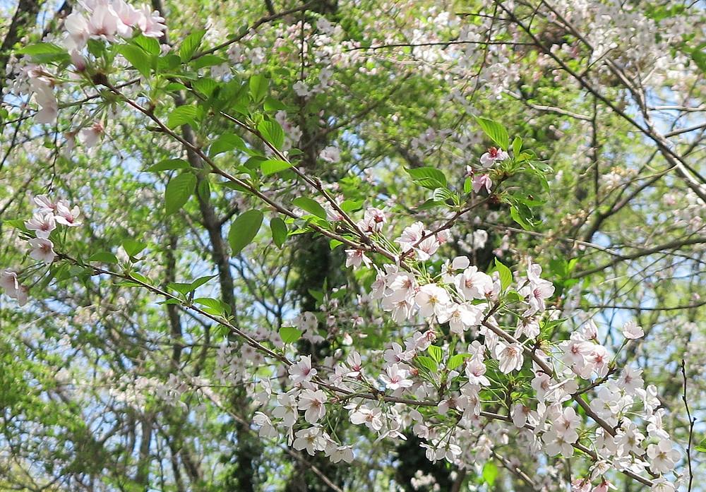 さくらの新緑も綺麗だよ。桜満開後、出稼ぎから帰国。これからの季節は緑がきれい。ゆっくりと温かくなる日本の新緑は6月まで楽しめる!