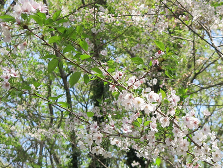 桜満開のあと