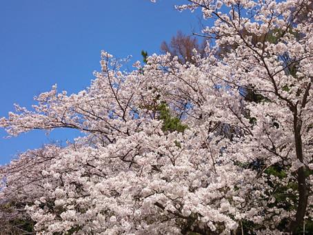 Sakura 桜 樱花